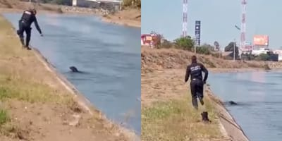 Policía de Culiacán ve algo flotando en el canal: se quita todo y se lanza al agua