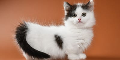7 motivi per adottare un Munchkin, il gatto bassotto (Foto)