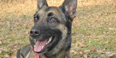 Tierheim postet Bild von wunderschönem Schäferhund, doch jetzt ist es zu spät