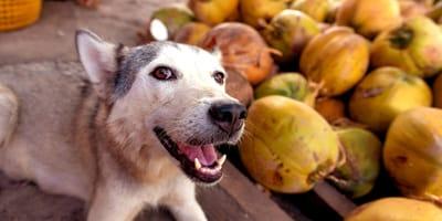 ¿Los perros pueden comer coco?