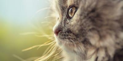 Gato persa de perfil