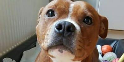 Puro drama: pitbull se da cuenta de que le llevan al veterinario
