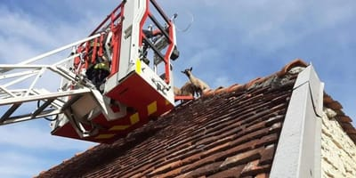 bomberos rescatando cabras en el tejado