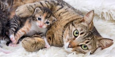 Ile kotka może mieć kociąt w miocie?