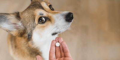 Mag een hond paracetamol?
