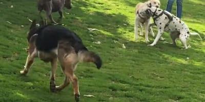 Vídeo: valiente pastor alemán protege a un schnauzer de un dálmata que se porta mal