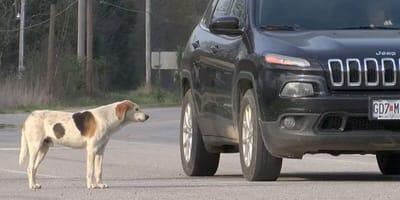 Pies stoi i patrzy na samochód.