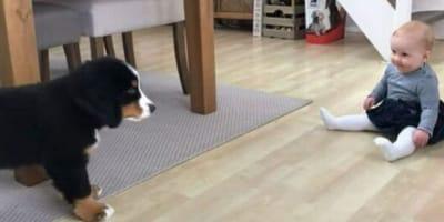 Cachorro de boyero de Berna conoce a su hermanita: ¡lo más lindo que verás hoy!