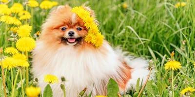 Diente de león para perros: ¿es tóxico?