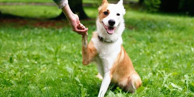 ¿Por qué mi perro me da la pata? Razones de peso