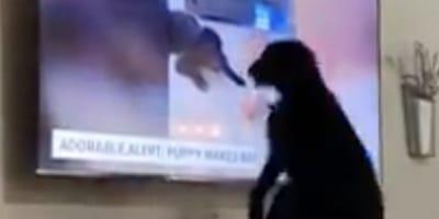 Stacja telewizyjna nadaje reportaż o psie. Reakcja czworonoga, kiedy widzi siebie na ekranie, jest bezcenna