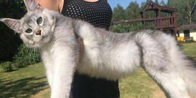 Maine coon i inne koty, które nie mają pojęcia, że są... ogromne!