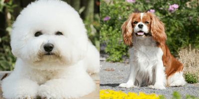 The Cavachon: Cavalier King Charles cross Bichon Frise