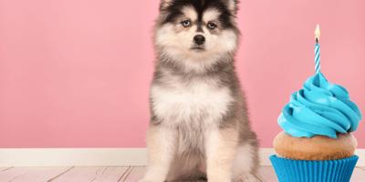 ¿Cuánto vive un husky? Esperanza de vida de este esponjoso lomito