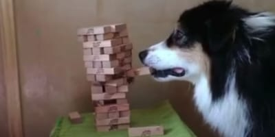 When people see this dog approaching a Jenga tower, they are left speechless