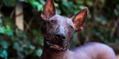 Las 10 razas de perros más raras del mundo