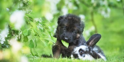 A white rabbit jumps over a black dog