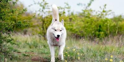 husky-bianco-tra-i-cespugli