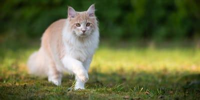 Le caratteristiche del gatto: equilibrio, riflessi e 5 sensi