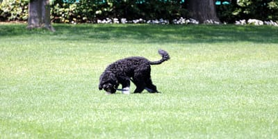 Bo, el perro de los Obama, en la Casa Blanca