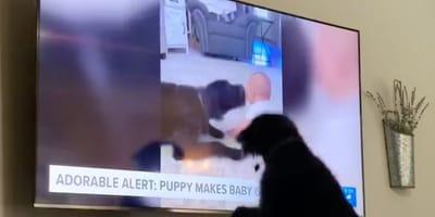 black dog jumps up to TV