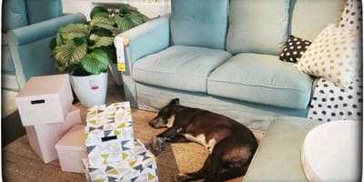 Hund liegt tagelang bei IKEA: Doch es ist kein Verstoß gegen die Hausregeln, sondern eine geniale Idee!