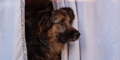 Perro espera durante dos semanas a su humano muerto por coronavirus