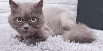 Lista de criaderos de gatos en Chile