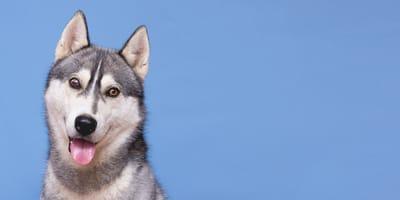 En TikTok, la experiencia de un husky en avión se viraliza