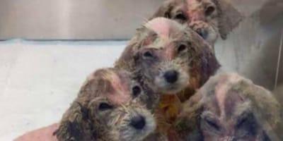 Refugio acoge 6 perros diminutos, más tarde las familias comprueban que hay un gran problema