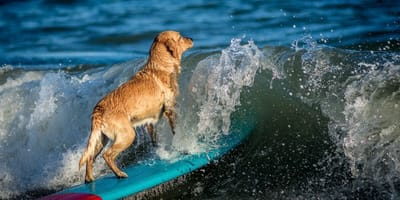 Perrito surfista se adueña de las playas de Veracruz con su talento