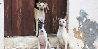 Perros colombianos en la Guajira