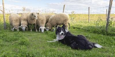 Schapendrijven: een unieke samenwerking tussen mens en hond