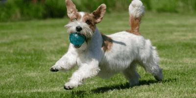 Hond rent met balletje in bek