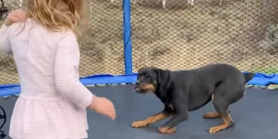 A Rottweiler and child jump on trampoline