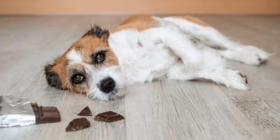 Hund liegt auf Boden neben Schokolade