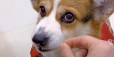 Er verarscht seinen Corgi, doch beim 3. Mal hat der Hund die Schnauze voll (Video)