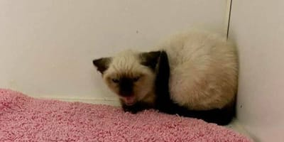 Schronisko nie radzi sobie z agresywnym kotem syjamskim. Na pomoc przybywa niezwykły gość!