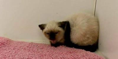 Sycząca kotka syjamska.