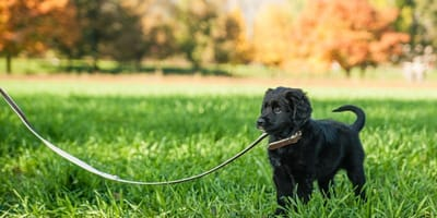 First walks with my puppy: How can I make them effective?