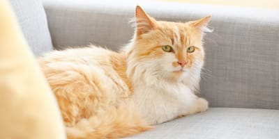 gattino rosso sul divano