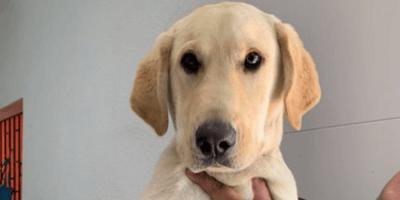perro rubio
