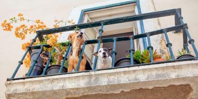 due-cani-abbaiano-sul-balcone