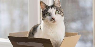 gatto-bianco-e-tigrato-seduto-dentro-una-scatola