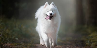 10 Facts about Samoyeds everyone should know