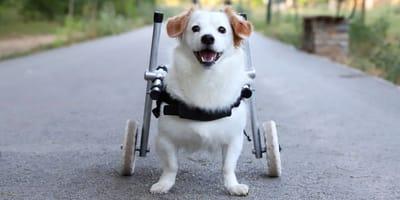 Come gestire un cane paralizzato e prendersene cura?