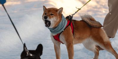 Leinenaggression beim Hund: Ursachen und hilfreiche Tipps