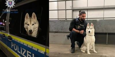 Frankfurter Polizei muss Husky festnehmen: Was hat er nur verbrochen?