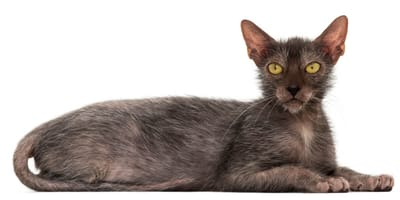 "Lykoi – urokliwy ""kot-wilkołak"""