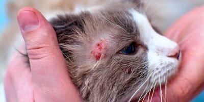 Tiña en gatos: cómo evitar el contagio, síntomas y cómo curarla